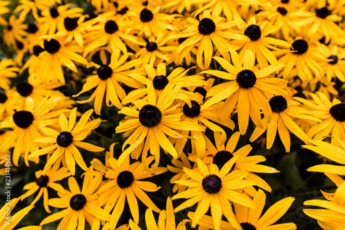 Valokuvatapetti Black eyed susans growing in north Quebec Canada.