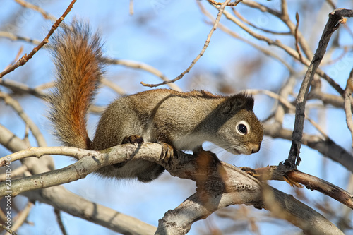 Fotografija A squirrel in a bare tree with a blue background