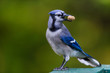 Bluejay perched in a boreal forest with peanut Quebec, Canada