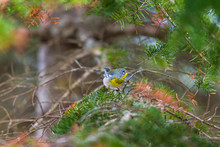 Northern Parula Perched In A Boreal Forest, Quebec, Canada.
