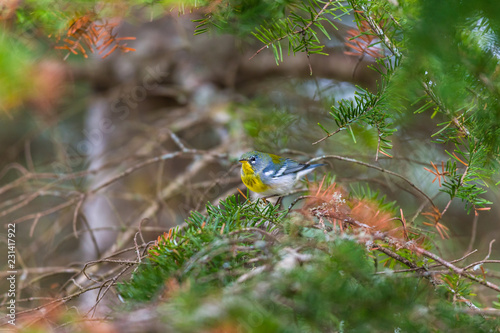 Photo  Northern Parula perched in a boreal forest, Quebec, Canada.