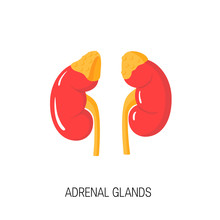 Vector Diagram Of Adrenal Glands In Flat Style.