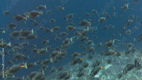 фотография Spawning aggregation of Orange-spine Surgeonfish