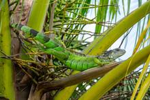Green Iguana (iguana Iguana) L...