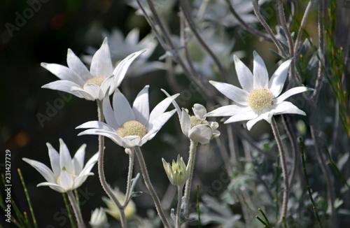 Stand Of Wild Australian Native Flannel Flowers Actinotus Helianthi