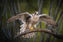 Prairie Falcon Prepares For Ta...