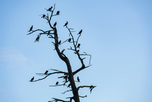 Cormorant Bird Silhouettes Against The White And Blue Sky With Clouds. Birds Sit On The Old Dry Tree Branches.