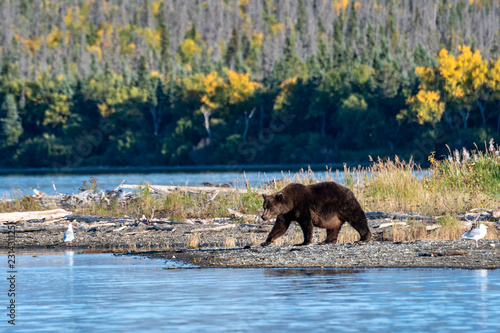 Large adult female Alaskan brown bear walking on Naknek Lake beach, fall foliage in background, Katmai National Park, Alaska, USA