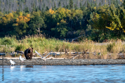 Fotografie, Obraz  Cute Alaskan brown bear cub walking on Naknek Lake beach, fall foliage in backgr