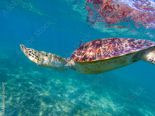 Poster Tortue Sea turtle diving in blue sea. Sea turtle in tropical seashore, underwater photo of marine wildlife.