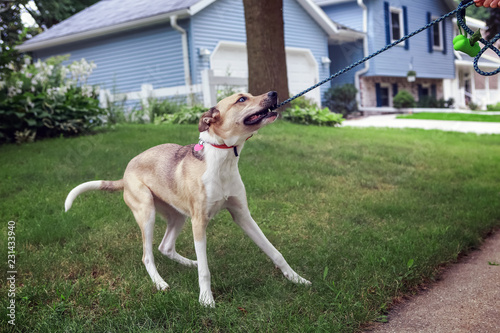 Photo Cute young dog tugging and biting on its leash while playing on a walk