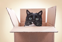 Black And White Tuxedo Cat Looking Out From Inside A Box, Teeth Marks On The Flaps