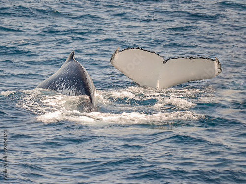 couple of whales swimming off shore Sydney in Australia, one is showing a tale during the diving, due balene nuotano al largo di Sydney in Australia