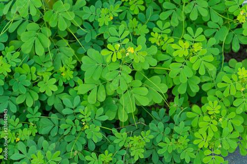 Indigofera tinctoria ( basma ), also called true indigo in garden.