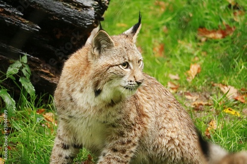 Foto op Canvas Lynx What animals are kept in the zoo and not only. Wildlife zoos wild forest.