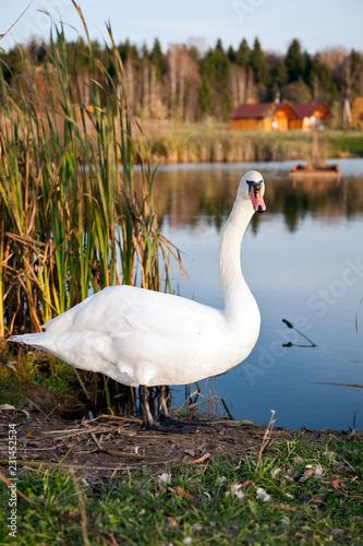 Deurstickers Zwaan swan on the lake