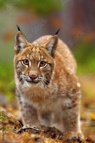 Spoed Foto op Canvas Lynx The Eurasian lynx (Lynx lynx), portait. Subadult cat portait.Cat ready to attack.