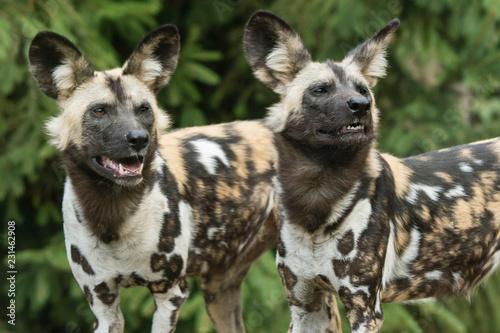 In de dag Hyena Dog hyenous outdoors.