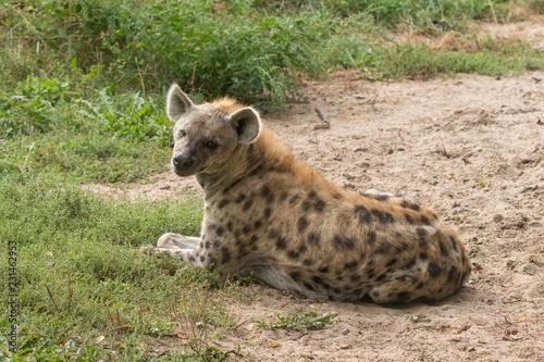 Foto op Aluminium Hyena Hyena speckled outdoors.