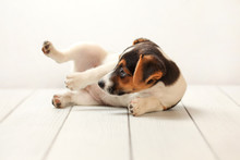 Jack Russell Terrier Puppy On White Boards And Background, It Is Playing On Her Side Instead Of Posing For Photographer