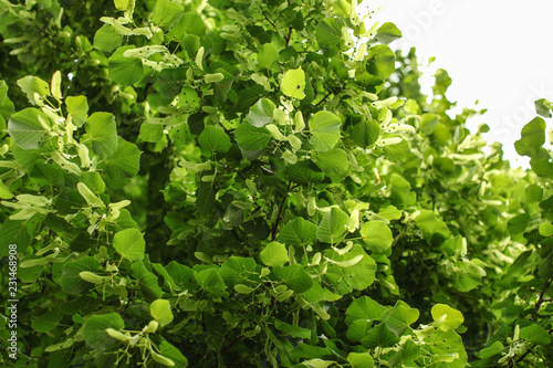 Small leaved lime (Tilia cordata) tree, detail on branches covered with leaves and fruits Fototapet