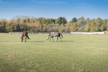 Horses At Green Pastures Of Horse Farms. Country Summer Landscape.