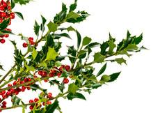 European Holly (Ilex Aquifoliu...