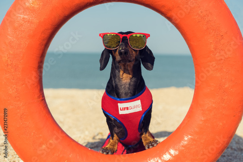 Photo A dog Dachshund breed, black and tan, in a red blue suit of a lifeguard and red