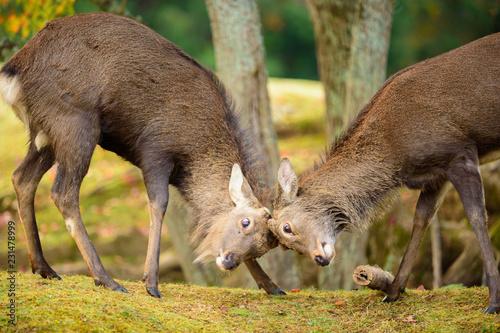 Poster Oceanië 奈良公園の鹿