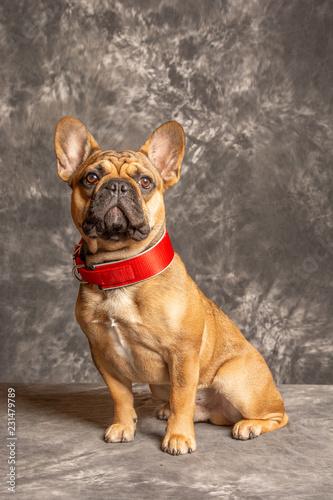 Tuinposter Franse bulldog Hund122