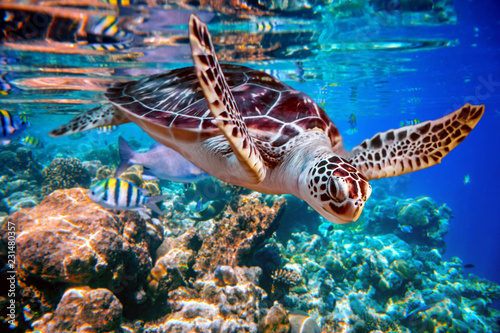 Obraz na plátně Sea turtle swims under water on the background of coral reefs