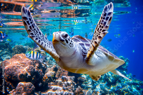 Staande foto Koraalriffen Sea turtle swims under water on the background of coral reefs