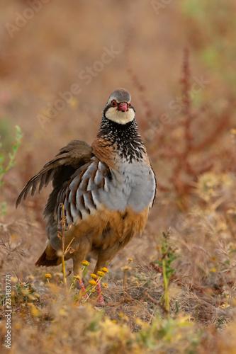 Carta da parati red partridge (Alectoris rufa)