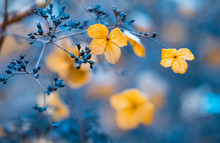 Verblühte Hortensien Im Gegenlicht