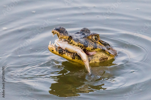 Yacare Caiman with fish in the Pantanal