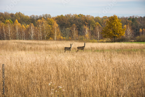 Spoed Foto op Canvas Ree Roe deer on a wild meadow