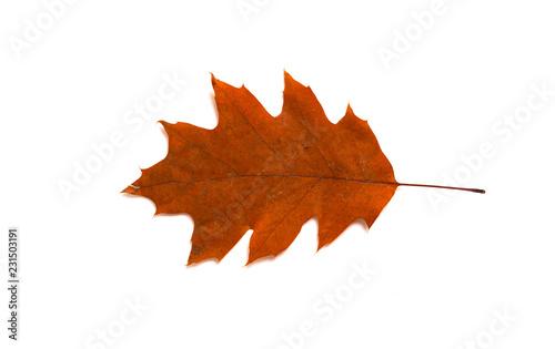 Valokuva  einzelne Herbstblätter auf weißem Hintergrund