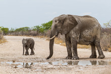 Mother And Baby Elephant In The Mud On A Dirt Road In Etsha Ntional Park In Namibia