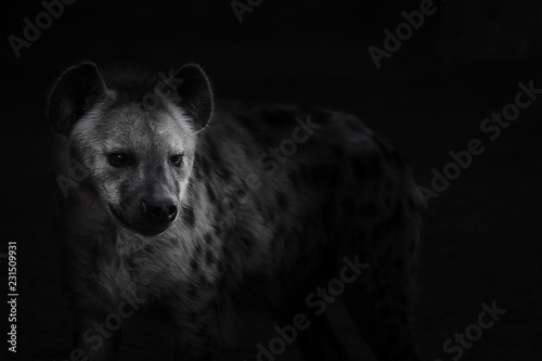 Spoed Fotobehang Hyena Hiena