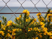 Bloomed Yellow Gorse Behind A Steel Chain-link Fence With An Ocean View Background.