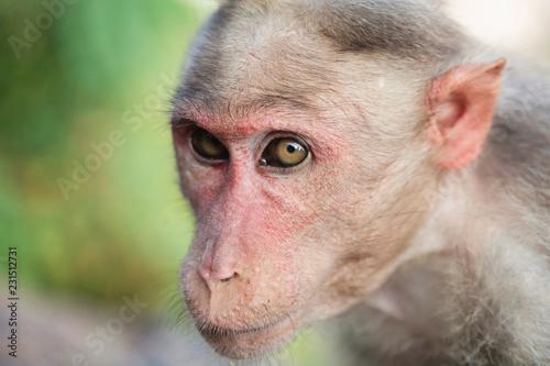 Foto op Plexiglas Aap Rhesus Macaque little monkey close to Arunachala ashram at Tiruvannamalai, Tamil Nadu, India