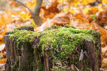 Old Stump, Moss, Fir Cones In The Autumn Forest.