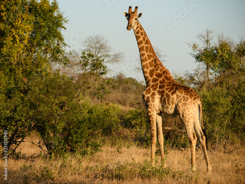 Deurstickers Afrika South African Giraffe