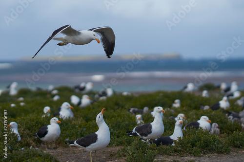 Canvas Print Breeding colony of Kelp Gull (Larus dominicanus) nesting alongside Dolphin Gulls on a grassy meadow on Sealion Island in the Falkland Islands