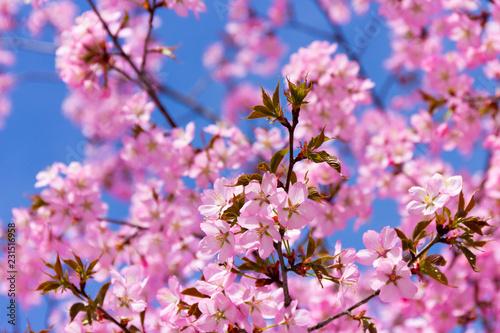 Blühende japanische Kirsche III