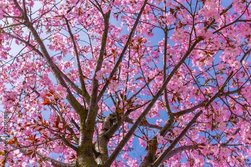 Blühende japanische Kirsche II