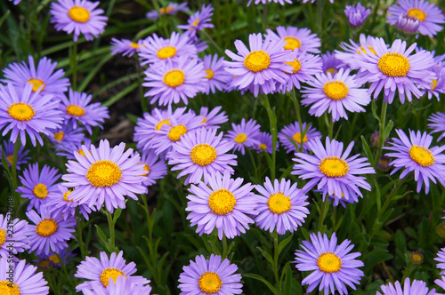 Valokuvatapetti New york asters or aster novi-belgii many violet flowers close up