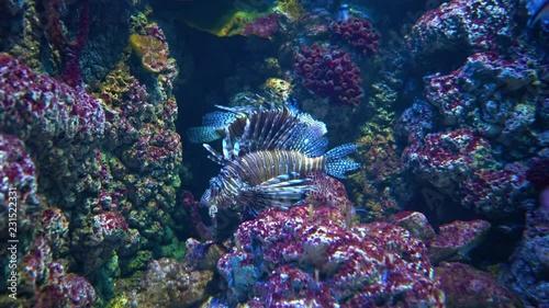 Valokuva  Clearfin lionfish (Pterois radiata), also called the tailbar lionfish