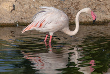 Greater Flamingo At Sunset (Phoenicopterus Roseus).