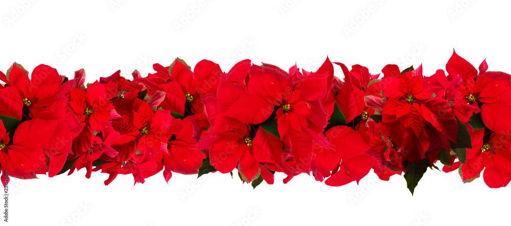Fototapety, obrazy: garland of fresh scarlet poinsettia flower or christmas star on a white background